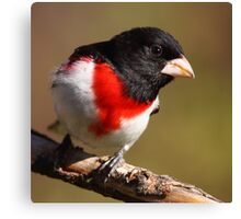 Rose-breasted Grosbeak Squared Canvas Print