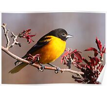Baltimore Oriole In Crabapple Poster