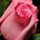 Mother's Day Rose by Nicole Jeffery