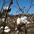 Raw Cotton~ by Virginian Photography (Judy)