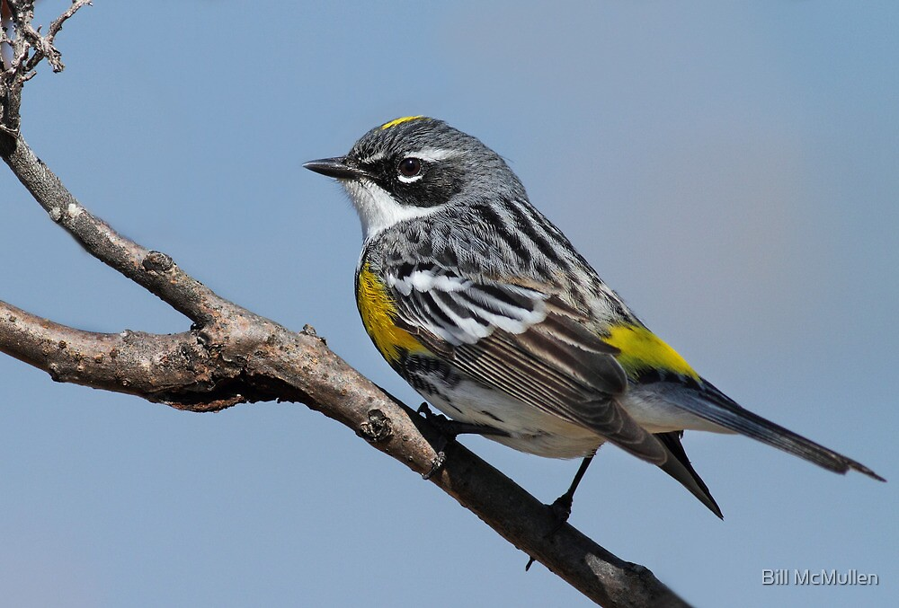 Yellow Rumped Warbler by Bill McMullen