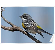 Yellow Rumped Warbler Poster