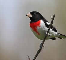 Rose Breasted Grosbeak by Bill McMullen