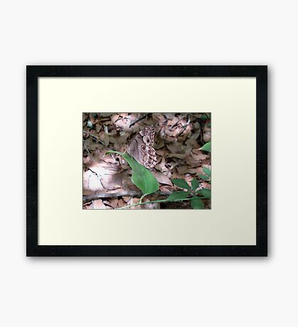 Southern Pearly Eye Framed Print