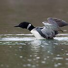 Common Loon by David Friederich