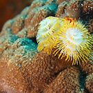 Yellow Christmas Tree Worm in Bonaire by Rich Synowiec