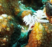White Christmas Tree Worm in Bonaire by Rich Synowiec