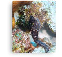 Seahorse in Bonaire Metal Print