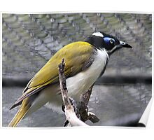 Blue Faced Honey Eater Poster