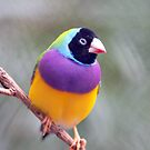 Gouldian Finch by aussiedi