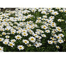 White Daisies Photographic Print