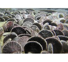 Sand Dollars Photographic Print
