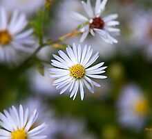 White Aster Flowers by Christina Rollo