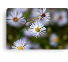 White Aster Flowers Canvas Print