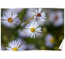 White Aster Flowers Poster