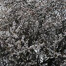 White Blooming  Tree by Marie Brown ©