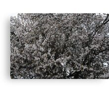 White Blooming  Tree Canvas Print