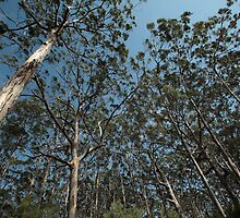 Karris, Boranup Forest by Elaine Teague