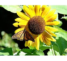 Sunflower Butterfly Photographic Print