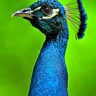 Peacock on Roof by Joe Jennelle