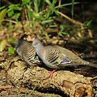 2 Crested Pigeons by Tim Harper