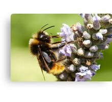 The bee and the lavender Canvas Print