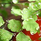 Maiden Hair Fern with raindrops Macro # 3 by Virginia McGowan