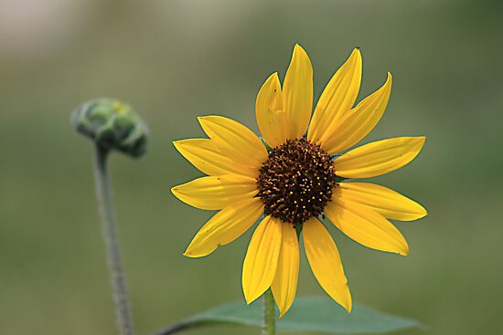 Sunflower and Bud by Alyce Taylor