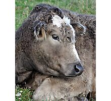 Bashful Bull Photographic Print