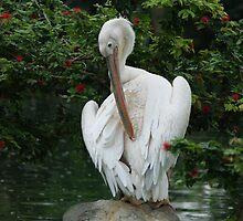 Pelican Preening by Chris Cherry