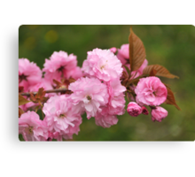 Blossoming cherry tree Canvas Print