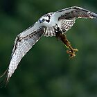 Osprey Finds Material for the Nest by David Friederich