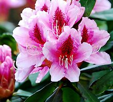 Rhododendron Flowers by Leon Heyns