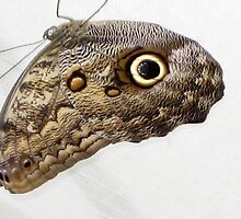 Hanging Owl Butterfly by aneyefornature