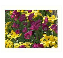 Purple and yellow tulips Art Print