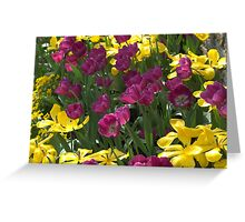 Purple and yellow tulips Greeting Card