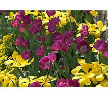 Purple and yellow tulips Photographic Print