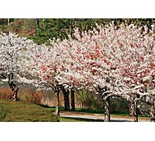 High Park Cherry Blossoms Photographic Print