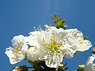 Cherry Blossoms art prints Blue Sky Baslee Troutman by BasleeArtPrints
