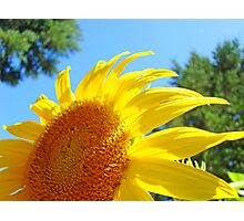 Contemporary art Yellow Sunflower print Photography Photographic Print