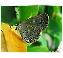 cool butterfly Poster