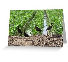 White-faced Ibis's Greeting Card
