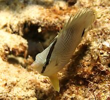 Butterfly Fish by Rich Synowiec