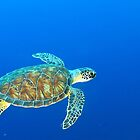 Hawksbill Sea Turtle by Rich Synowiec