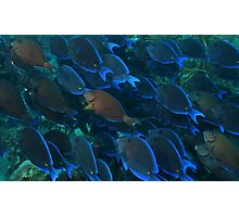Surgeon Fish Schooling Photographic Print