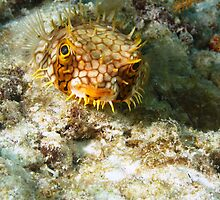 Burrfish Puffer by Rich Synowiec