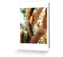 Flamingo Tongue Mollusk Greeting Card