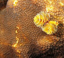 Yellow Christmas Tree Worm in Coral by Rich Synowiec