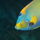 Queen Angel Fish by Rich Synowiec