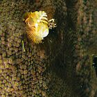 Christmas Tree Worm by Rich Synowiec